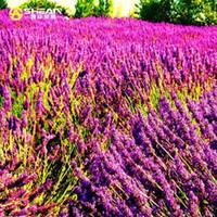ingrosso semi di lavanda-100 pz / borsa Importato Provence Bright Purple Lavender Seeds Lavandula angustifolia Semi di Fiori Bonsai Piante In Vaso