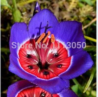 Wholesale Orange Rose Seeds - Free Shipping 100pcs Rose Tricolor Seeds Sparaxis Flower Seeds For Garden Home.Semillas de Flores.Blue Pink White Orange Rose