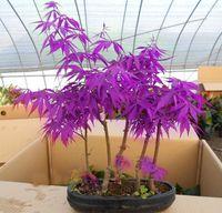 Wholesale Canada Purple - Hot Sale Rare Purple Maple Seeds Rare in The World Canada Beautiful Purple Maple Bonsai Plants Trees