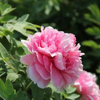 Wholesale Peony Seeds Pink - 20 dark and light pink peony seeds Blooming Free Shipping TT434