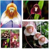 visage de singe orchidée graines de fleurs achat en gros de-Le Pérou en pot, graines d'orchidées pour le visage de singe, graines de fleurs de plantes de bonsaïs Phalaenopsis - 100 pcs