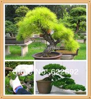 Wholesale Wholesale Pine Needles - Millennium Plants ,35 Piece Five-Leaved Pine Tree Seeds Potted Landscape Japanese Five Needle Pine Bonsai Miniascape Seeds