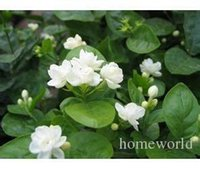 Wholesale Wholesale Minimum - Mix minimum $5 Mix $5 Jasmine flower seeds 50pcs pack white jasmine Seeds, fragrant plant arabian jasmine seeds