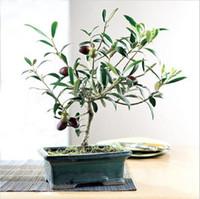 ingrosso semi freschi dell'albero-10 / bag Olive Bonsai (Olea Europaea) Semi, Bonsai Mini Olive Tree, Olive Bonsai Fresh Semi esotici per alberi
