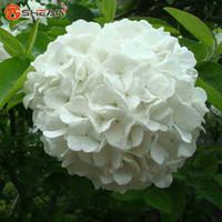 ortanca bonsai bitkileri toptan satış-Beyaz Ortanca Tohumları Balkon Bonsai Viburnum Ortanca Macrophylla Bonsai Bitki Çiçek Tohumları Ev bahçe için 100 Adet / grup