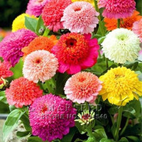Wholesale common potted flowers for sale - Group buy Zinnia elegans Scabiosa Mix Color Small Flower Zinnia about Seeds bonsai pot DIY home garden flower easy growing