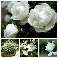 Wholesale Wholesale Jasmine Flowers - 10 CAPE JASMINE GARDENIA JASMINOIDES fragrant seeds beautiful gardens!! Free Shipping TT350