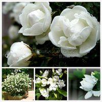 sementes de jasmim venda por atacado-10 CAPE JASMINE GARDENIA jasminoides sementes perfumadas belos jardins !! Frete grátis TT350