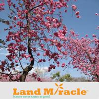 ingrosso bonsai di fiore di ciliegio giapponese-10 semi / Pack, Giapponese cherry blossom Sakura seme orientale cherry Bonsai Sementi di fiori per Giardino Domestico di DIY Piantare Fiori TOP16