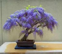 Wholesale diy home seeds resale online - Hot Selling Beautiful Seeds pack Bonsai Wisteria Seeds For Diy Home Garden Decoration Wisteria Flower Seeds D019843