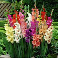 Wholesale Flower Gladiolus - Gladiolus seeds, gladiolus flower seeds, Aerobic indoor potted plants -100 pcs Gladiolus bag