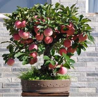 Wholesale Product Trees - Trial product Bonsai Apple Tree Seeds 20 Pcs apple seeds (used wet sand sprouting )fruit bonsai garden in flower pots planters
