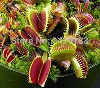 ingrosso vasi da giardino giganti-Dionaea Muscipula Spedizione gratuita Clip Gigante Venus Fly trappola Semi 300 PZ semi Insettivori Giardino Sementi di Piante Bonsai Famiglia In Vaso
