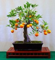 Wholesale Ornamental Garden Trees - 100 Bonsai Orange Seeds--DIY Home Garden Mini Potted Edible Plant, Fragrant & Ornamental Fruit Free Shipping SS058