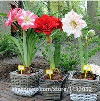 Wholesale Cheap Wholesale Bonsai - Amaryllis seeds, free shipping cheap Amaryllis seeds, Barbados lily potted seed, Bonsai balcony flower - 100 pcs bag