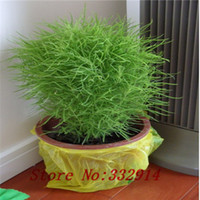 Herb Seeds organic mosquito - Mosquito repellent grass seed seeds flower seeds for Home Garden Bonsai outdoor plants