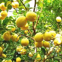 Wholesale Indoor Outdoor Plants - 10PCS Rare Natural Sweet Yellow Lemon Tree Indoor Outdoor Seeds Fruits Vegetables Plant Seed Garden