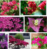 Wholesale Bougainvillea Flowers - Promotion 300pcs   bag ,Bougainvillea seeds, potted seed, flower seed, variety complete, the budding rate 95%, (Mixed colors) No