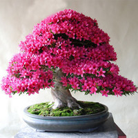 Tree Seeds organic seeds plants - 100 bag Rare Bonsai Varieties Azalea Seeds DIY Home Garden Plants Looks Like Sakura Japanese Cherry Blooms Flower Seeds