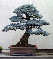 Beautifying blue evergreen trees - Bonsai Colorado Blue Spruce Picea pungens seeds Evergreen tree
