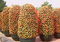 Wholesale Grow Pot Seeds - 50 Mini Potted Edible Orange Bonsai Seeds-- Fragrant & Ornamental Fruit,Easy -growing