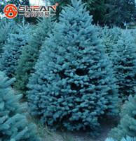 ingrosso albero di bonsai blu-Confezione da 100 pezzi Blue Spruce Seeds Picea Tree Bonsai Cortile Giardino Bonsai Pianta Pino Semi