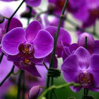 New Rare 20Pcs Mix Color Phalaenopsis Flower Seeds Bonsai Plant Butterfly Orchid Garden Yard Decoration
