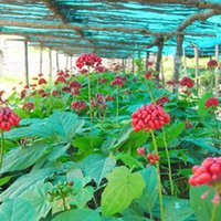 Wholesale Ginseng Seeds Wholesale - Wholesale - Free shipping 100 Chinese   korea panax ginseng seeds Wild Very Rare
