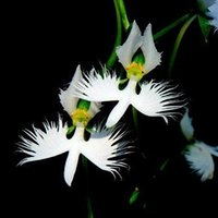 Wholesale World s Rare Flower Japanese Radiata Seeds For Garden Home Planting Semillas Flora White Special Flowers