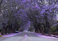 violette samen großhandel-100pcs / bag Paulownia Seeds (Prinzessin Baum oder Kaiserin Baum) - beeindruckend und fügen Sie Schönheit zu Ihrem Gard