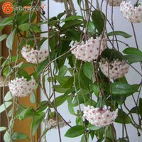 ingrosso giardino fiori perenni-Semi di orchidea a palla bianca Semi di Hoya Carnosa Fiore di orchidea in vaso Giardino Piante perenni 100 pezzi / lottp