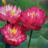 ingrosso aquatic plant-Bonsai semi di loto ciotola di loto semi di ninfea rare fiore Acquatico pianta seme per la casa giardino semina - 5 pz / pacco L002331