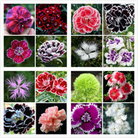 Wholesale Flower Germination - Free Shipping Promotion! 200 Dianthus Seeds , 16 kinds mixed packed, Sweet William flower, easy to grow ,high germination DIY garen SS260