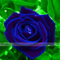 sementes de oxalis venda por atacado-1 Pacote Profissional, 50 sementes / pack, Roxo Azul Rosa Grande Plantas Floridas Forte Perfumado Perfumado Jardim Flor # NF410