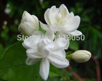 Wholesale Organic Jasmine Flowers - Free shipping 50 pieces white jasmine Seeds, fragrant plant arabian jasmine flower seed
