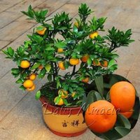 Heirloom 20 Orange Bonsai Seeds Bonsai Tree So-Easy Container Gardens