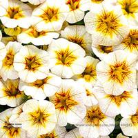 büyük çiçek tohumları toptan satış-Nadir Superbells Frostfire Calibrachoa Petunya Yıllık Çiçek Tohumları, Profesyonel Paketi, 100 Tohumlar / Paketi, Büyük Çiçeklenme Çiçek
