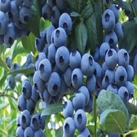 Wholesale Diy Potted Planting - Fruit seeds Blue Berry Seeds DIY Garden fruit seeds potted plants 1 Pack About 100 Pieces Oem Package Blueberry Fruit Seeds free shipping