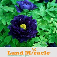Wholesale 5 Seeds pack Chinese Flower Seeds Dark Blue Peony Flower Seeds