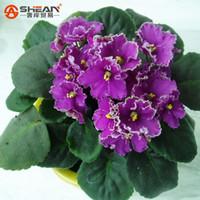 violette samen großhandel-50 STÜCKE Lila Violet Samen Garten Pflanzen Blumensamen Topf Violet Mehrjährige Kraut Matthiola Incana Samen