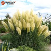 Wholesale Seeds Ornamental Grass - Common Yellow Pampas Grass Seeds Flower Garden Potted Ornamental Plant Cortaderia Grass Seed New 500 Pieces   Lot