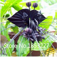 Wholesale Black Shall - HOT SALE Black Tiger Shall Orchid Flowers Seeds 100pcs Rare Flower Orchid Seeds Free shipping For Garden & Home Plants