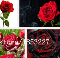 Organic organic black seed - 100 seeds pack True Blood Rare Black Rose Seeds Rare Amazingly Beautiful Black Roses Red Edge Seedling flower Seed