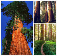 Wholesale Fast Growing - Big promotion 20 Giant Sequoia Seeds , Sequoia bonsai seeds,rare ,fast growing ,the most valuable tree species Free Shipping SS059