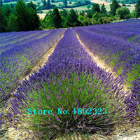 Wholesale 200 bag lavender flower seeds Lavender seeds herb angustifolia herb seed garden balcony pot flower seed Original packaging