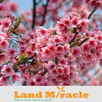 Fruit Seeds oriental fruits - 1 Professional Pack seeds Pack Japanese cherry blossom Sakura seed oriental cherry Bosai Flower Seed Land Miracle LMTOP4d