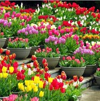 Tulip Petals Tulip Seeds Potted Indoor y Outdoor Potted Flowering Plants Semillas de flores perennes 20 Unids / pack Semillas