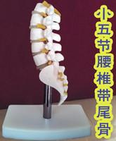 Wholesale Model Spines - wholesale Human Skeleton Model Lumbar Disc Disease Spine Model Fifth section lumbar spine Model Medical Science Teaching mannequins C010