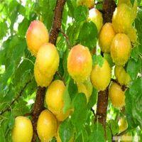 ingrosso alberi perenni-5 PZ Albero di albicocca Semi di piante perenni Albero da frutto Anti5aging Semi di frutta per giardino di casa A025