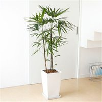 Wholesale chinese seeds - 30pcs Bonsai Palm bamboo Seeds Chinese plant Seeds DIY Home Garden S004